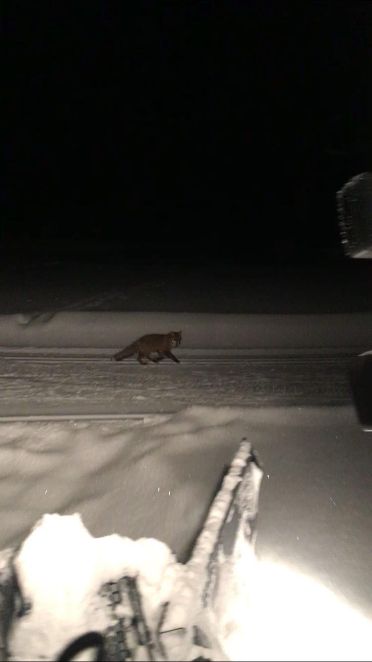 Le renard prend souvent les pistes pour se déplacer plus facilement.